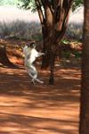 Verreaux's Sifaka dancing [mcar_0118]