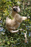 Verreaux's Sifaka sitting in a tree [mcar_0119]