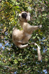 Verreaux's Sifaka sitting in a tree [mcar_0120]