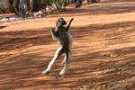 Verreaux's Sifaka dancing [mcar_0125]