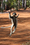 Verreaux's Sifaka dancing [mcar_0130a]