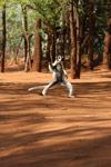 Verreaux's Sifaka dancing [mcar_0138]