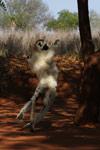 Verreaux's Sifaka dancing [mcar_0141]
