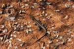 Three-eyed lizard (Chalaradon madagascariensis)