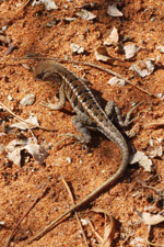 Three-eyed lizard (Chalaradon madagascariensis) [mcar_0148]