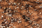 Three-eyed lizard (Chalaradon madagascariensis) hunting ants