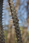 Alluaudia procera, closeup on spines and leaves [mcar_0151]