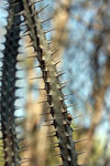 Alluaudia procera, closeup on spines and leaves [mcar_0152]