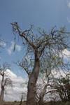 False baobab (Moringa drouhardii)