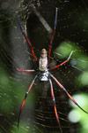 Orb spider [mcar_0176]