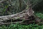 Fallen strangler fig