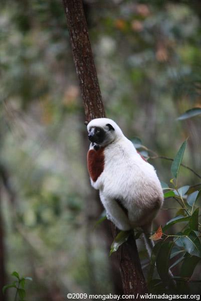 Coquerel's Sifaka (Propithecus coquereli) in Madagascar