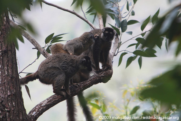 Group of common brown lemurs (Eulemur fulvus)
