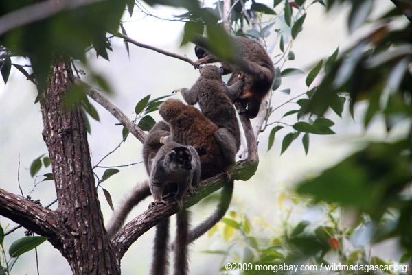 Common brown lemurs (Eulemur fulvus)