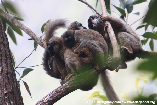Group of common brown lemurs (Eulemur fulvus) huddled in the forest canopy