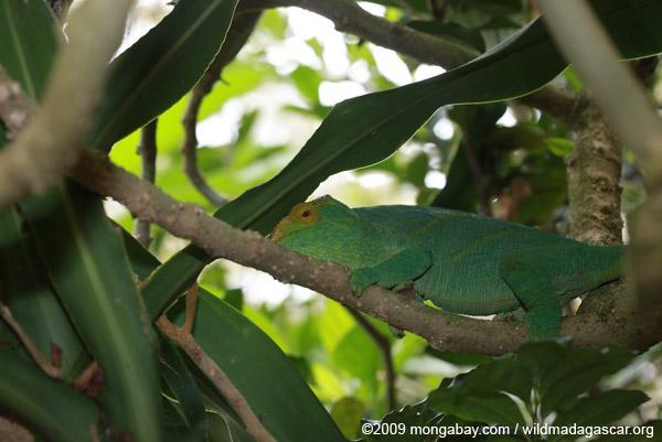 Parson's chameleon (Tolongoina race)