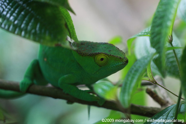 Female Parson's chameleon [Green with yellow eye)