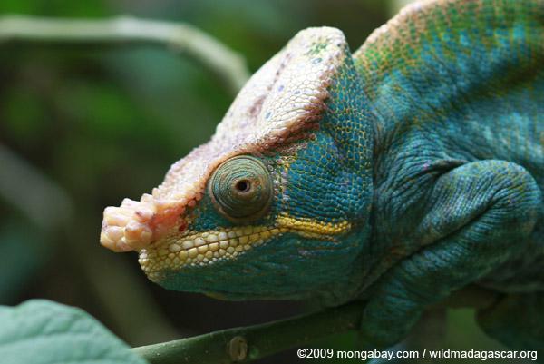 Parson's chameleon (Calumma parsonii) [yellow and orange]