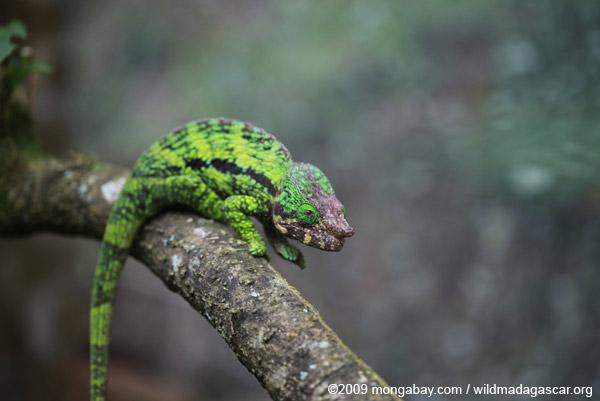 Calumma globifer chameleon (male)