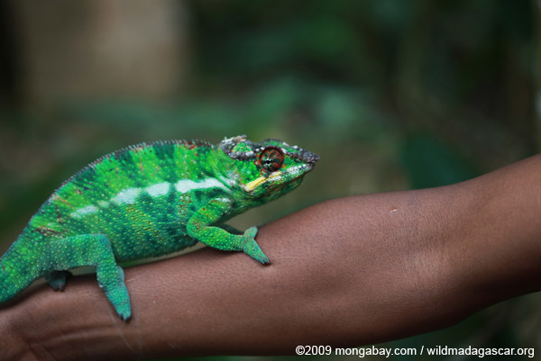 Male panther chameleon (Furcifer pardalis) on a man's arm