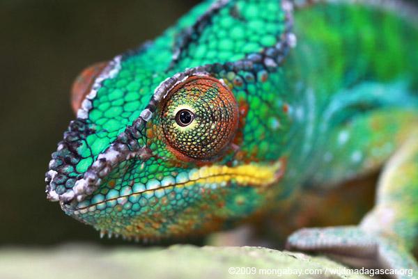 Male panther chameleon (Furcifer pardalis)