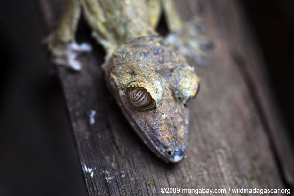 Giant Leaftail Gecko (Uroplatus fimbriatus)