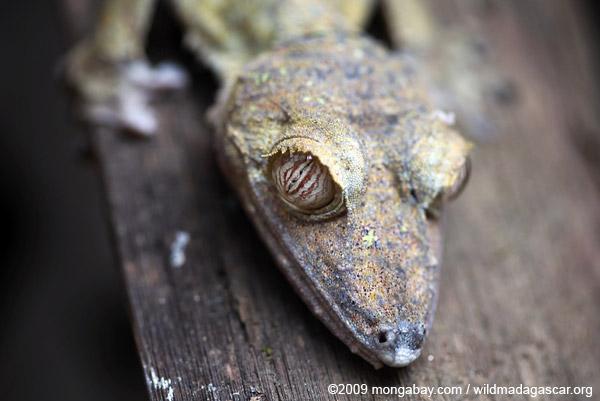 Giant Leaftailed Gecko (Uroplatus fimbriatus)