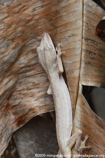 Lined Leaf-Tail Gecko (Uroplatus lineatus)
