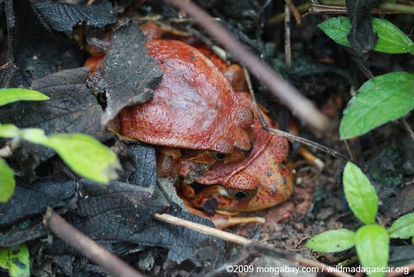 Mating tomato frogs (Dyscophus antongilii)