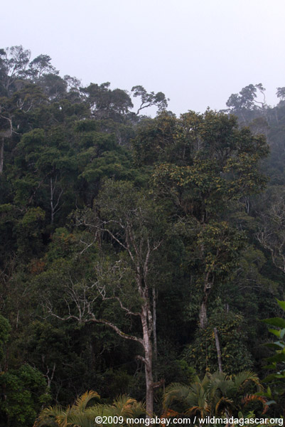 Rainforest canopy of Perinet NP