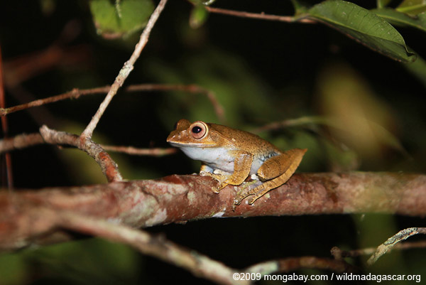 Boophis madagascariensis tree frog