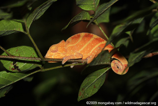 Parson's chameleon (red and yellow)
