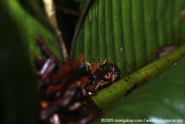 Madagascar centipede