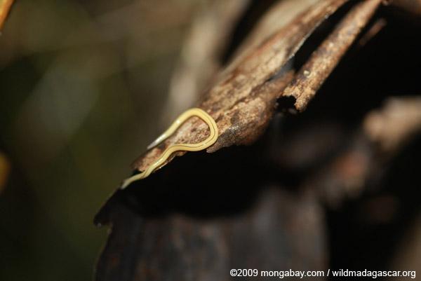 Yellow worm?