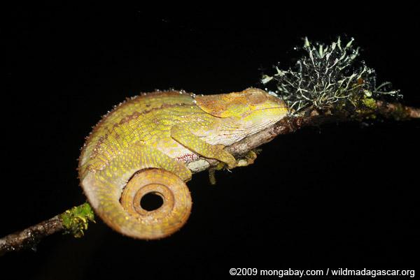 Elephant-eared Chameleon (Calumma brevicorne)