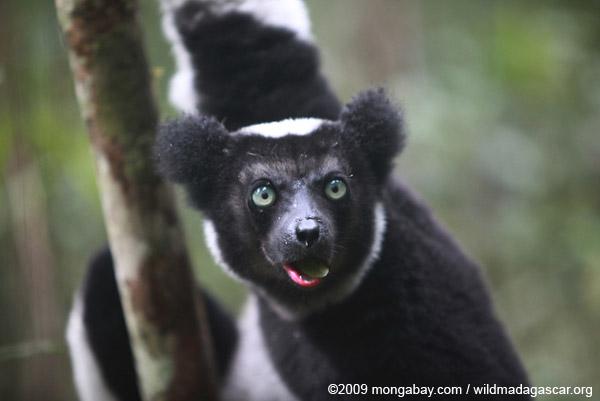 L'indri, bien que classé comme étant en danger, est l'un des lémuriens les plus couramment chassés pour la viande de brousse. Photo de  Rhett A. Butler.