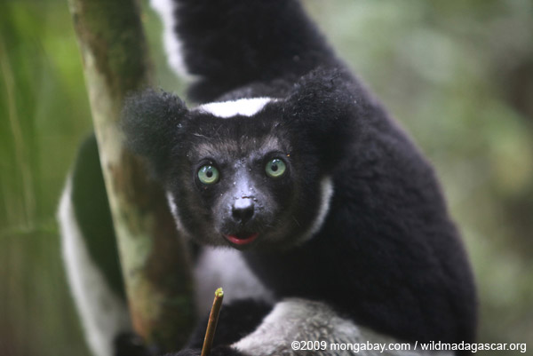 Indri (Indri indri). Photo by: Rhett A. Butler.