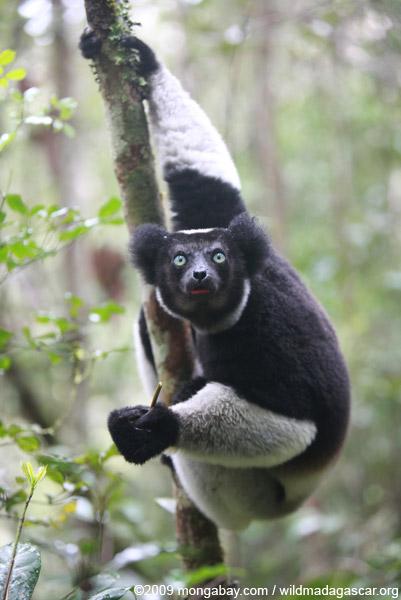 Indri lemur (Indri indri)