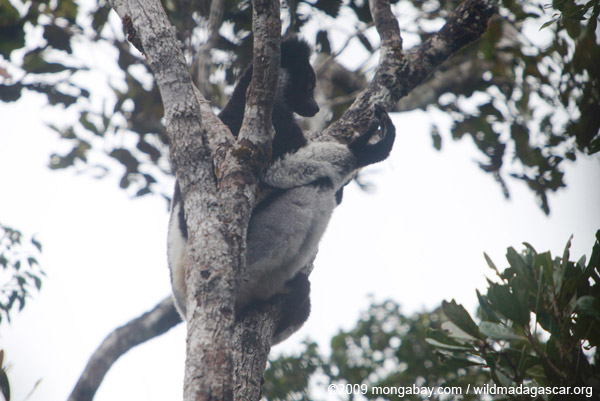 Indri lemur examining its foot