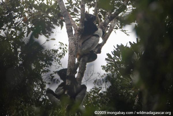 Indri lemurs