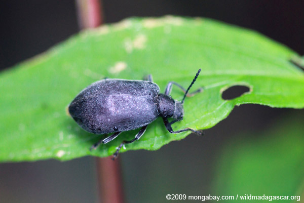 Block beetle