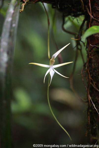 Angrecum orchid