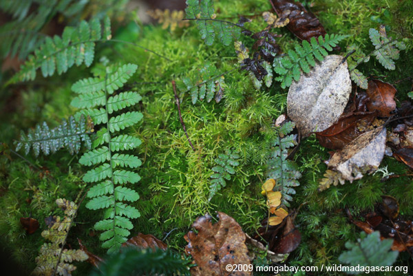 Moss and ferns on a rotting log in Madagascar