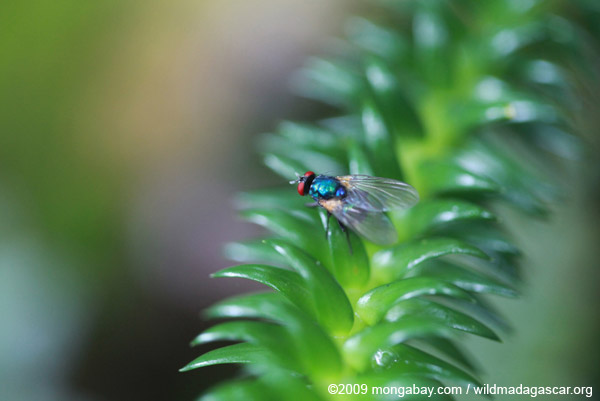 Red-eyed fly in Madagascar