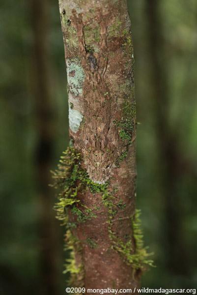 Southern Leaf-tail Gecko (Uroplatus sikorae)