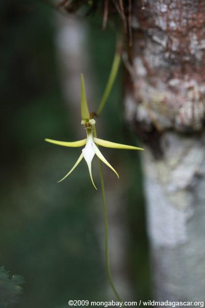 White Angrecum orchid (Jumellea sp.)