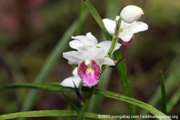White and pink ground orchids (Gastrorchis pulchra var. perrieri)