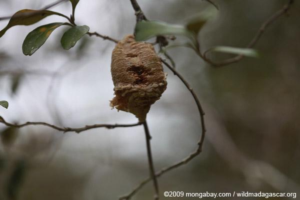 Egg case for a praying mantis