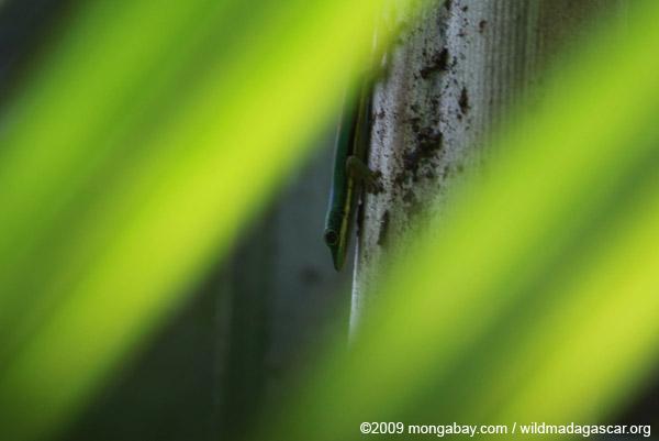 Lined Day Gecko (Phelsuma lineata) in a Pandanus palm