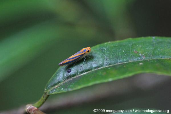 Orange and black leafhopper
